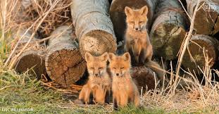 Iowa wildlife images This is what the fox says and other cool things about foxes jpg