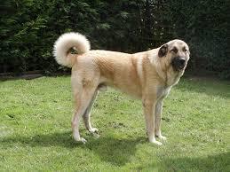 australian shepherd mastiff mix author archives dog and cat