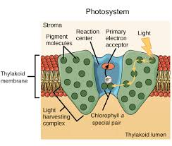 The Light Reactions Of Photosynthesis Use And Produce The Light Dependent Reactions Article Khan Academy