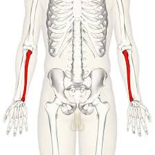 Picture Of Anatomical Position The Ulna Proximal Shaft Distal Teachmeanatomy