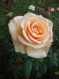 roses plant care and collection of varieties garden org