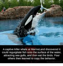 Whaling Meme - a captive killer whale at marineland discovered it could
