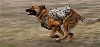 belgian malinois vest new body armor protects police dogs news sports jobs the