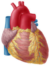 Anatomy Of The Heart And Its Functions Heart Anatomy Study Guide Kenhub