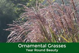 ornamental grasses year evergreen of johnson city tn