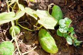 when to plant a vegetable garden in texas hunker
