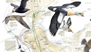 Duck Migration Map Bird Migration Map Wall Maps