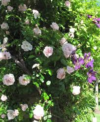 perfect in pairs climbing roses and clematis gardens of the