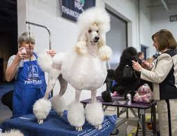 afghan hound national dog show the national dog show return of the reign of the terriers