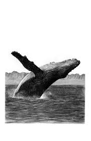226 best whales images on pinterest humpback whale animals and