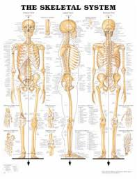 Lab Practical Anatomy And Physiology How To Study For Anatomy And Physiology Lab Practical Teriffic