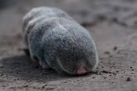 Moles Blind The Lesser Mole Rat Is A Burrowing Rodent That Unlike Moles Uses