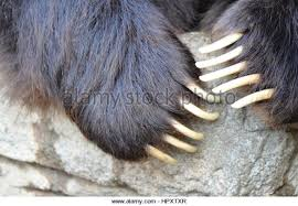 grizzly claws grizzly claws stock photos grizzly claws stock images