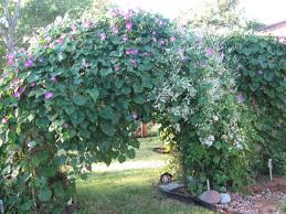 arbor covered with morning glories and silver lace vine garden