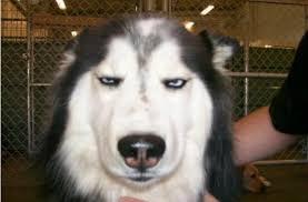 Meme Annoyed - annoyed husky dog meme generator