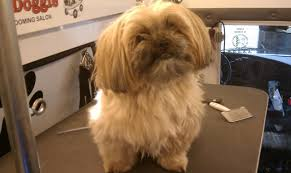 pictures of shorkie dogs with long hair club doggie mobile grooming salon before and after photo gallery