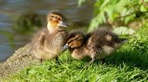 free images nature wing cute pond spring fluffy beak