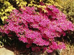 Pink Spring Flowering Shrubs - winter pruning trees shrubs the old farmer u0027s almanac