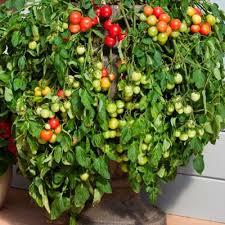 tomato cherry falls f1 harris seeds