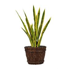 laura ashley 43 in tall snake plant in planter vhx121217 the