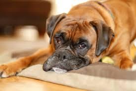 boxer dog 2015 diary boxer dog fortyplusandfrazzled
