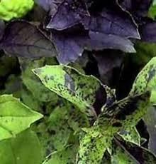 basilico in vaso malattie basilico ocymum basilicum ocymum basilicum orto basilico