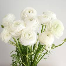 ranunculus flower ranunculus care and handling flower muse