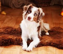 australian shepherd weight the top 10 most active dogs