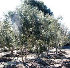 olive tree farm nursery careful selection delivery and planting