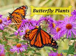 butterfly flowers butterfly plants list butterfly flowers and host plant ideas