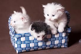 studio persiani tre gatti persiani immagine stock immagine di sorpresa 68766303