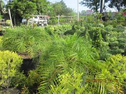 ornamental plants for sale cebu palm trees for sale