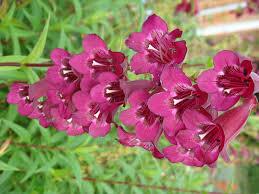 deep purple jardin