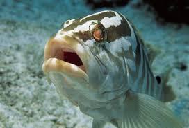 cuisiner le merou mérou tout sur les poissons cuisine et recettes sur gourmetpedia