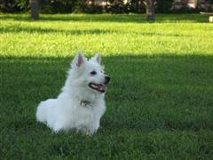 pics of american eskimo dogs american eskimo dog names at dognamed com
