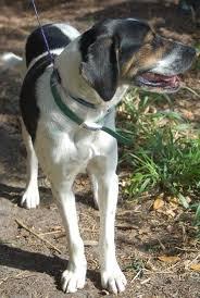bluetick coonhound climbing tree sammy the treeing walker coonhound u0027s web page