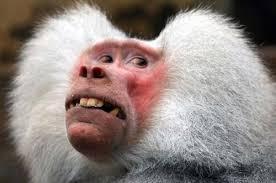 Baboon Meme - create meme baboon pictures meme arsenal com