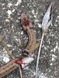 backyard snake identification ask an expert