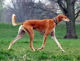 afghan hound lifespan life span of afghan hound
