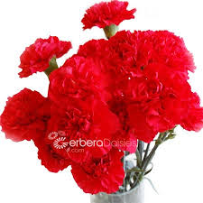 Red Carnations Bulk Flowers Red Carnations