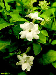Fragrant Indoor Plants Low Light - 12 best jasmine images on pinterest white flowers beautiful