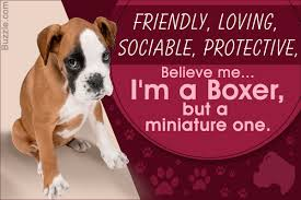 characteristics of a australian shepherd meet the miniature boxer a mix breed of boxer and boston terrier