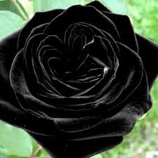 black roses for sale 100 pcs black seeds amazingly beautiful black