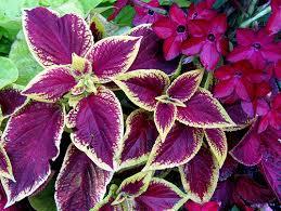 How To Grow Coleus Plants by Taking Care Of Coleus Plants Sunday Gardener