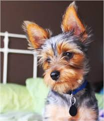 yorkie haircuts pictures only 18 best yorkshire terrier s images on pinterest yorkies