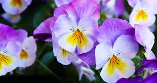 62 types of purple flowers proflowers