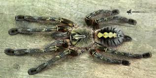 poecilotheria rufilata 3cm redslate ornamental tarantula