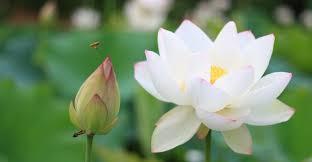 Lotus Flower Parts - white lotus flower white lotus flower meaning