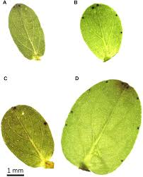 Vitrificateur No Visible Frontiers Conservation Strategies In The Genus Hypericum Via