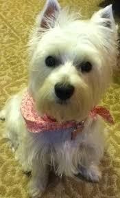 images of westie hair cuts 500 best westie terrier 1 images on pinterest white terrier